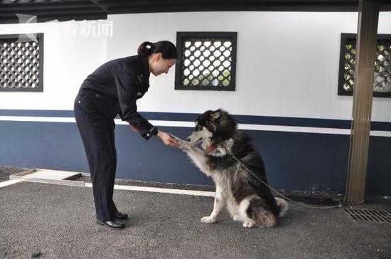 阿拉斯加犬欲窜上G15沈海高速 民警买火腿肠将其带回