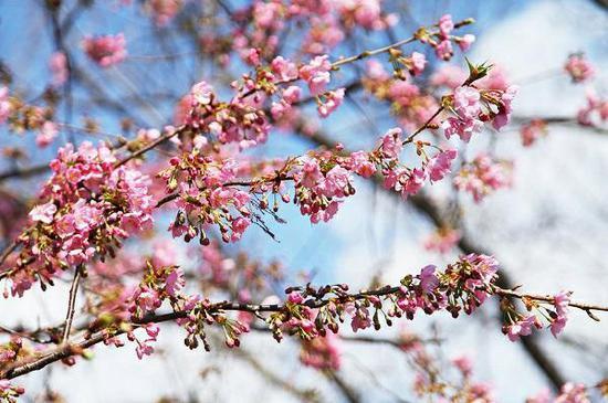 申城已经入春 辰山植物园河津樱