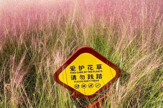 上海滨江东岸粉黛乱子草遭游客踩踏 草地被迫剪掉重植