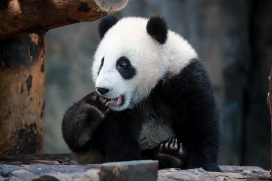 上海出生大熊猫嘉嘉仔已满半岁 首次正式与游客见面