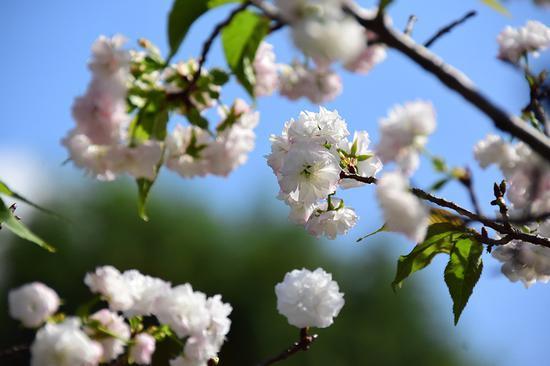金秋十月上海樱花再开 部分春季樱花休眠后反季开花