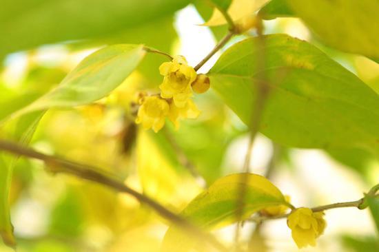 上海蜡梅已初开 绿叶丛中点点金黄成奇观