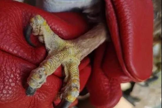 大鵟的爪子