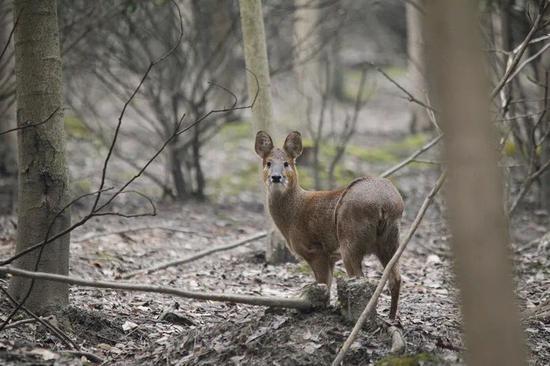 上海最大獐扩繁基地 十只獐成为研究个体开始野放训练