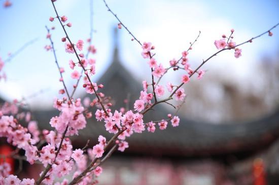 四万株梅花怒放迎客 第八届上海梅花节启幕