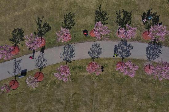 顧村公園的櫻花