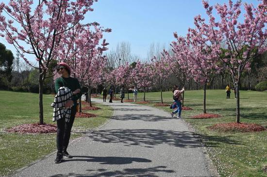 顧村公園內游客正在賞櫻。本文圖片除署名均為 澎湃新聞記者 朱偉輝 攝