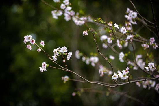 秋樱 本文图片均为上海植物园供图