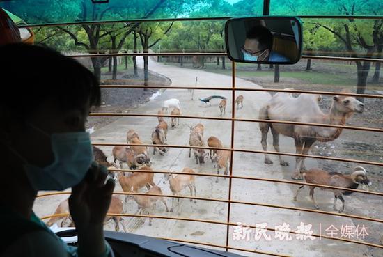 图说:上海野生动物园夜游项目将启幕 新民晚报记者 周馨 摄(下同)