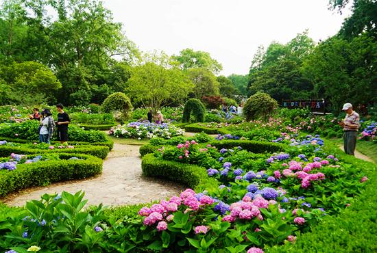 共青森林公园八仙花美不胜收 多个名优品种亮相