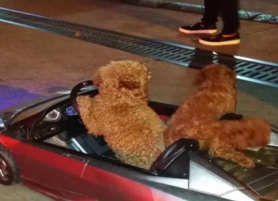 """图说:三条泰迪狗坐在玩具车内""""兜风"""" 网友供图(下同)"""
