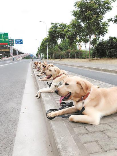 导盲犬正在进行训练。 (资料)