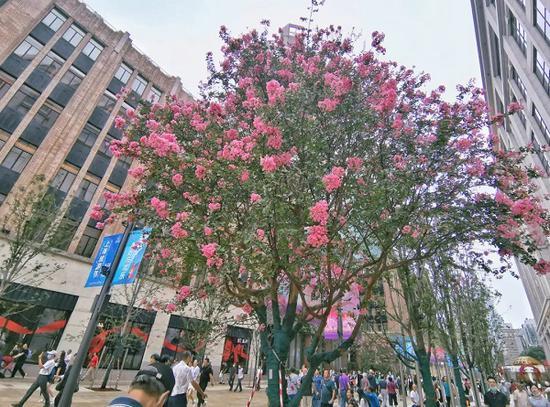 南京路步行街东拓段的明星植物:紫薇正当时 青枫将转红