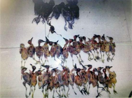 图说:顾某猎捕的野生鸟类。资料图片