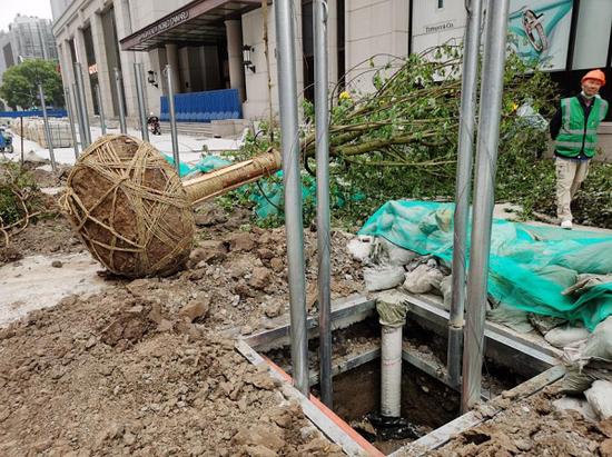图说:地下钢支架伸展固定于树穴周边土层内