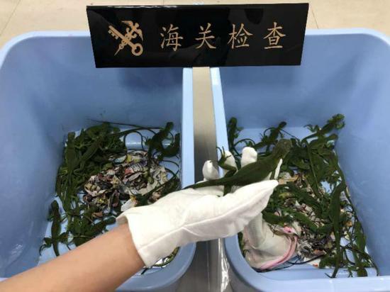上海邮局海关邮递渠道查获活蜥蜴80只 犯法嫌疑人被抓