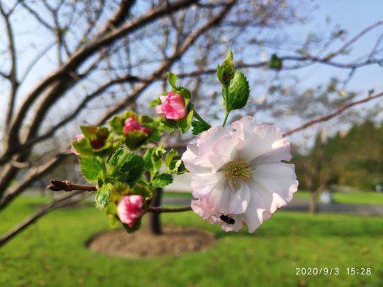 """图说:""""嘉奖""""樱花辰山植物园供图"""