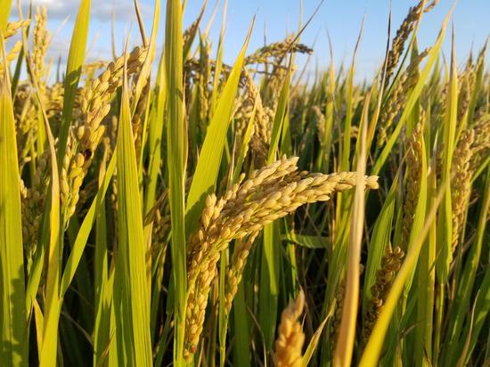 华东师大在崇明横沙岛种出幸福生态米 增产最高128%