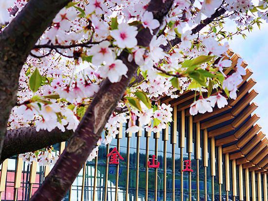 金山衛站的櫻花迎風綻放。 吳佳珺 圖