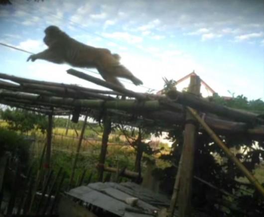 图说:猴子经常出没在村子后的小桥上 村民供图