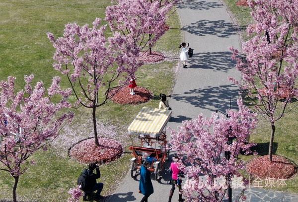 圖說:上海櫻花節后天在顧村公園拉開帷幕。