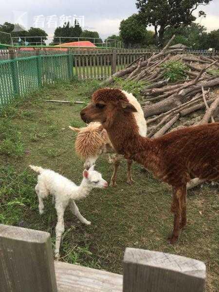 辰山植物园喜迎新生命 纯白色的羊驼宝宝诞生