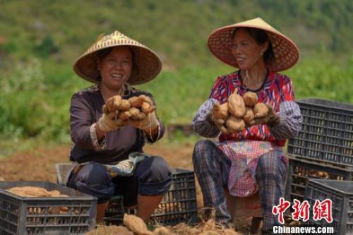资料图:紫云县白石岩乡红芯红薯种植基地,种植户喜迎红芯红薯丰收。 贺俊怡 摄