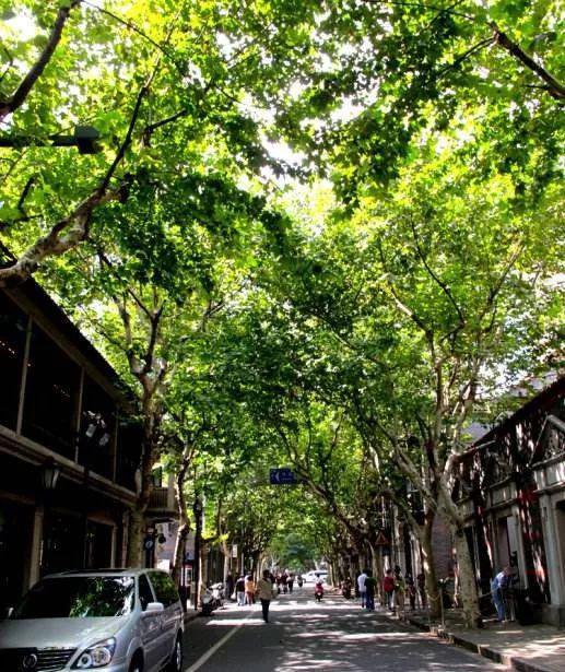 沪上林荫道完整树种攻略 纳凉散心好去处一览