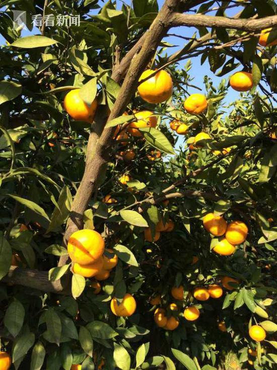 滨江柑橘采摘节开幕 将一直持续至11月15日