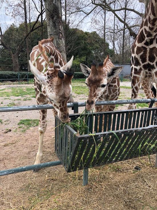 图说:长颈鹿 采访对象供图(下同)