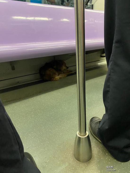 黄毛小狗早高峰搭乘上海地铁 民警围圈护卫装箱带下车