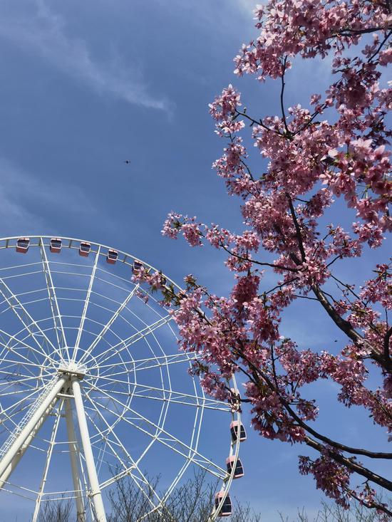 顧村公園內的櫻花和摩天輪 顧村公園供圖