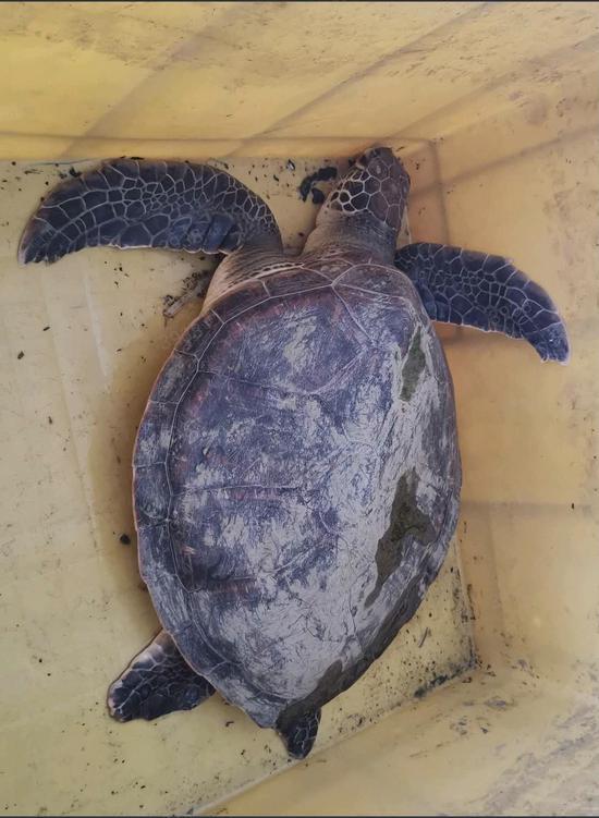 男子在黄浦江垂钓发现太平洋蠵龟 系国家二级保护动物