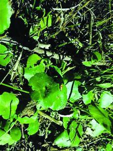 水生雷氏萤停留在草叶上。 李宝花 摄