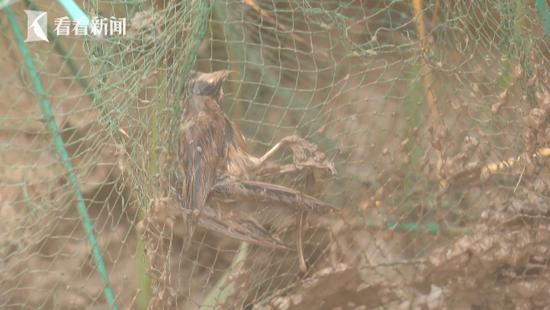 南汇东滩湿地现非法捕捞地笼 野鸟野鸭被困死亡
