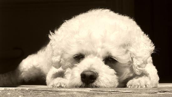 九命宠物公司销售7天犬投诉不断 7条犬又被查出病毒