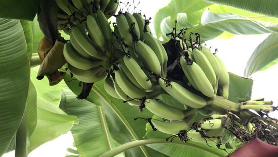 崇明种出香蕉有望量产上市 此前尚无人种植香蕉