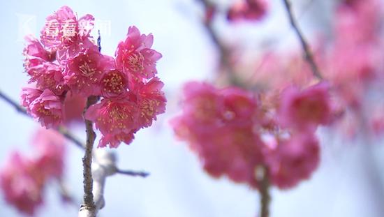沪上气温回升各色春花将接力绽放 一起足不出户云赏花