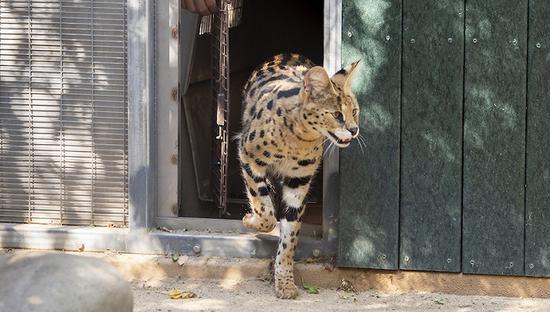上海宠物店主买卖网红猫获刑 居家萌宠实际为濒危物种