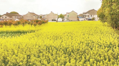 沪郊田间地头菜花盛放 形成一片黄金之海