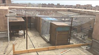 孙老伯在楼顶天台上搭建的鸽棚. 均 车佳楠 摄