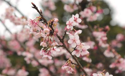 沪上公园早樱提前绽放迎游人 下周至本月底迎盛花期