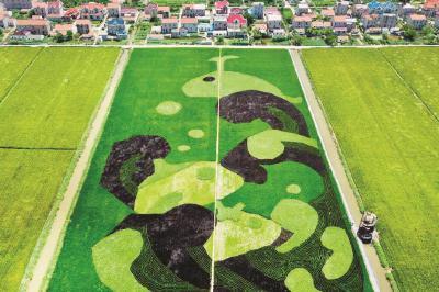 崇明横沙乡水稻创意画亮相 呈现别样田园风情