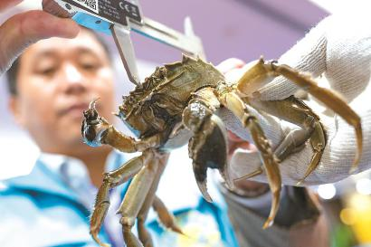 一名工作人员在测量河蟹的大小。 本报记者 赖鑫琳 摄