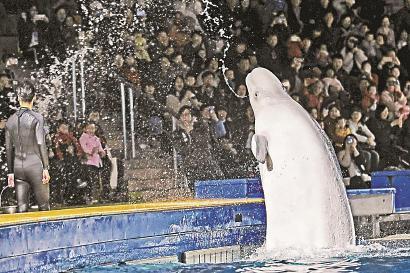小白鲸表演喷水,向现场观众致意。