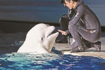 小白鲸与训养师对望,依依不舍。