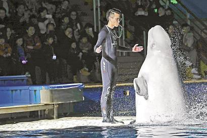 日前,长风海洋世界小白鲸姐妹告别演出。本报见习记者 赖鑫琳 摄