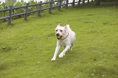 一狗主人放开狗绳,扔网球引宠物狗狂奔。