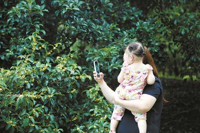上海植物园内的早银桂开花了,游客在园内拍摄桂花。 均 谢臻阳 摄