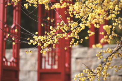 图为世纪公园内的黄蜡梅。本报记者 袁婧 摄影报道